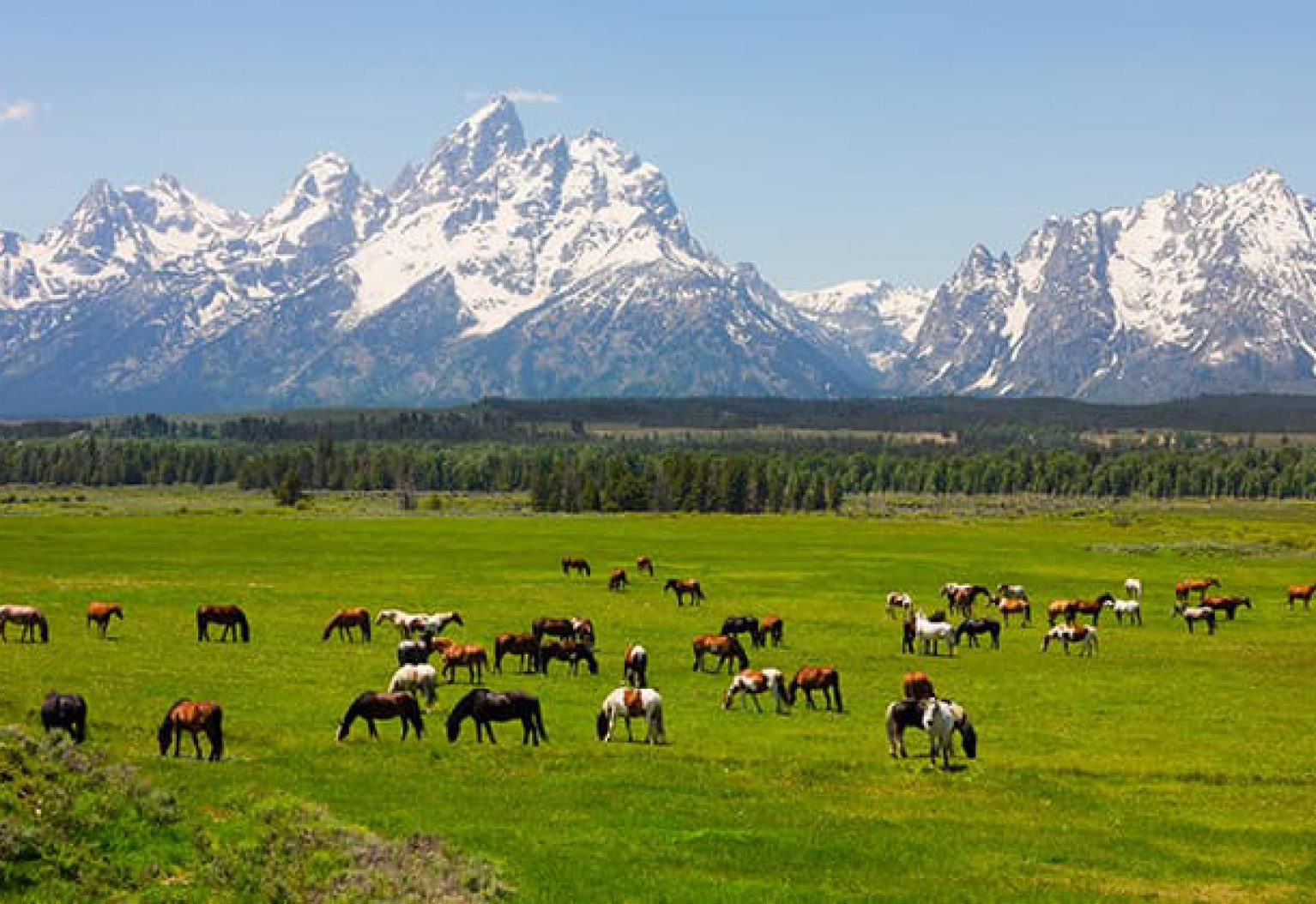 Grazing horses with the Tetons in the background